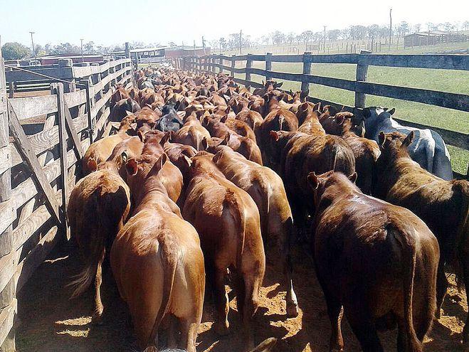 Repunte sistemático del precio del ganado
