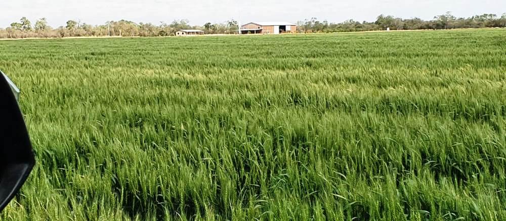 Exitosa produccion de Trigo en pleno Chaco Paraguayo