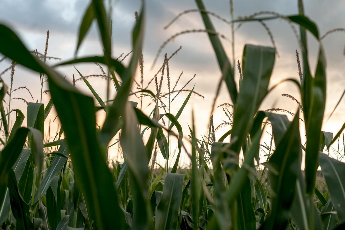 Aspectos sobre la producción de maíz en el Chaco Central, Paraguay